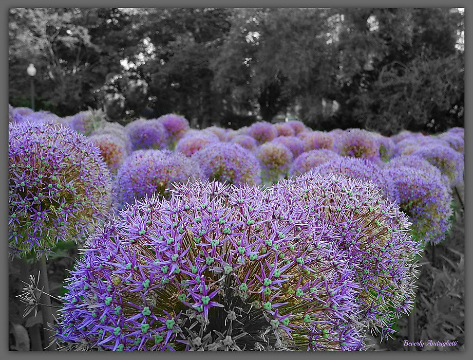 photoblog image Alliums - Boston Public Garden