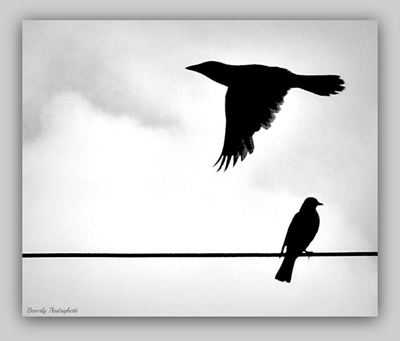 photoblog image Blackbirds