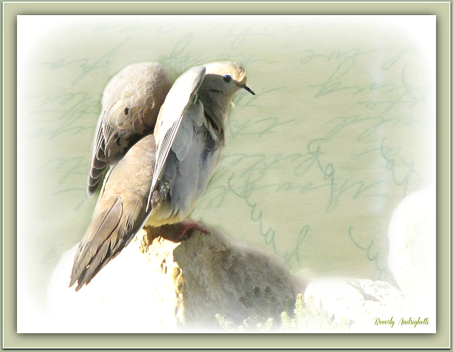 photoblog image Mourning Dove Fantasy