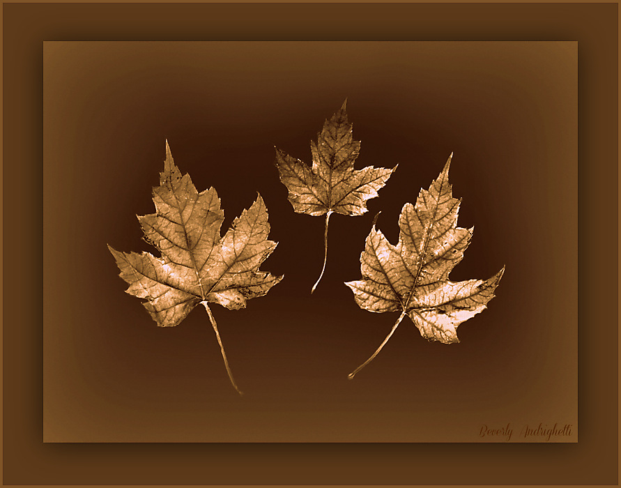 photoblog image Maple Leaf Trio