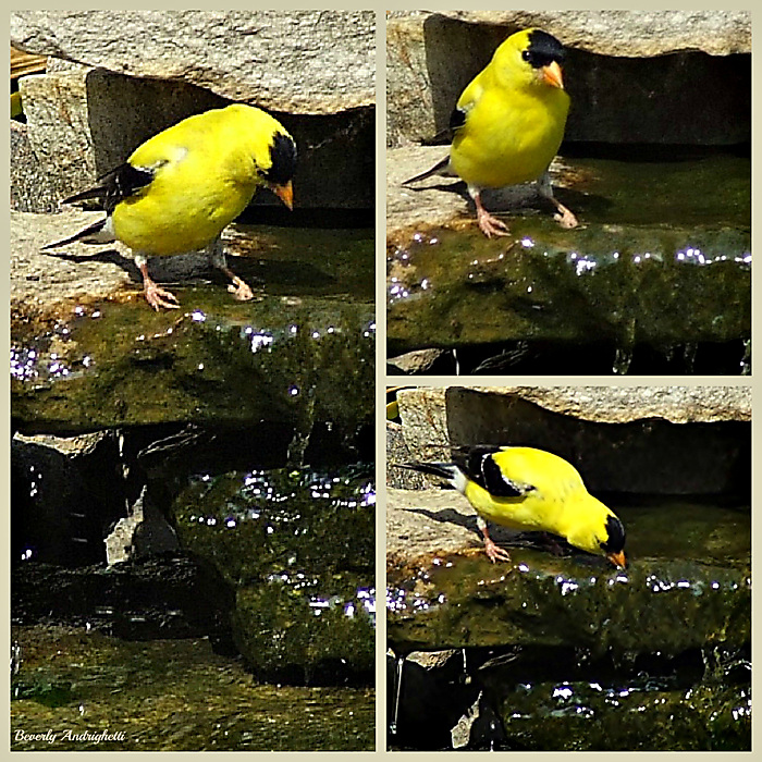 photoblog image Goldfinch Drops By For A Quick Drink