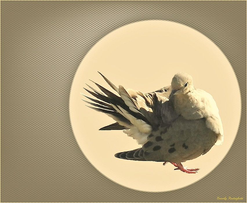 photoblog image Mourning Dove