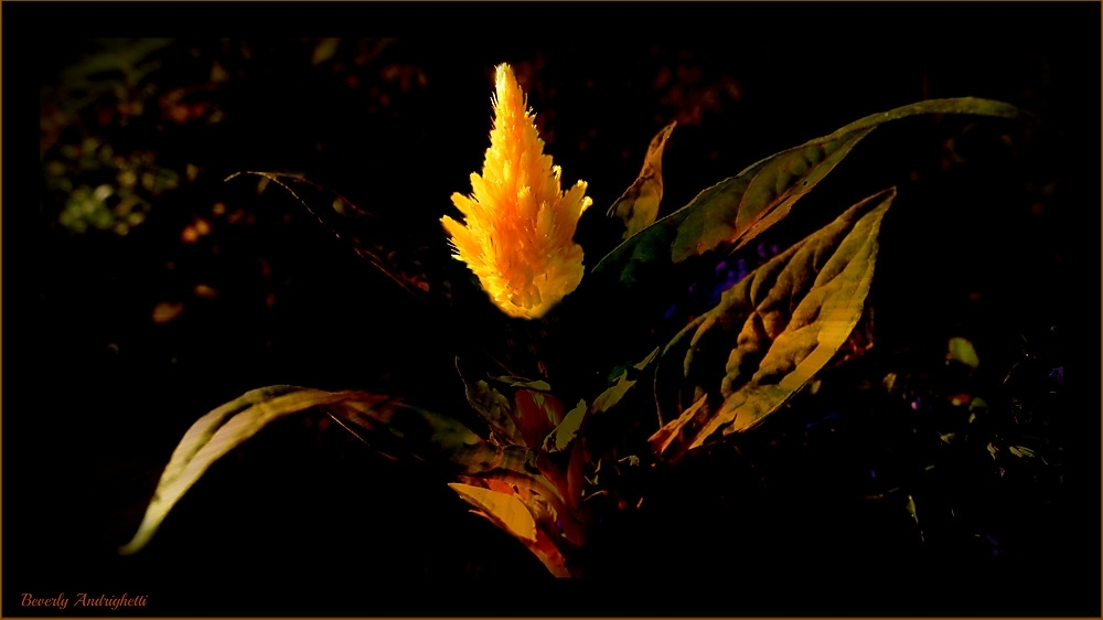 photoblog image Flame Burning Bright - Celosia Plumosa