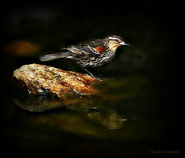 photoblog image Female Redwing