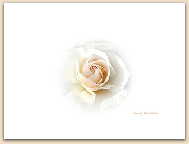 photoblog image Garden Rose