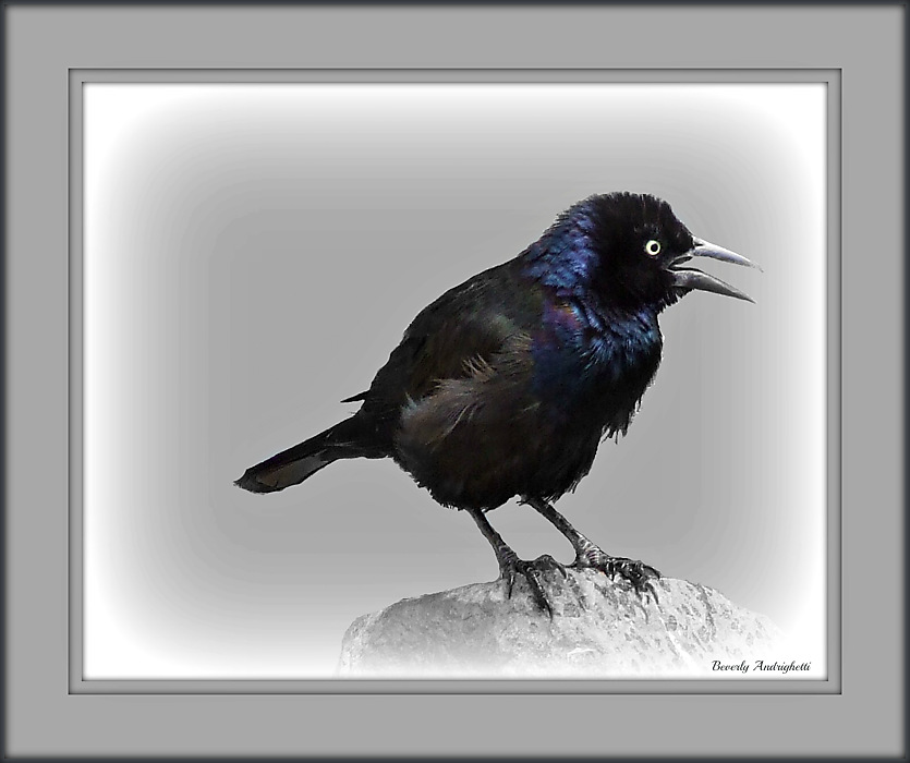 photoblog image Grackle