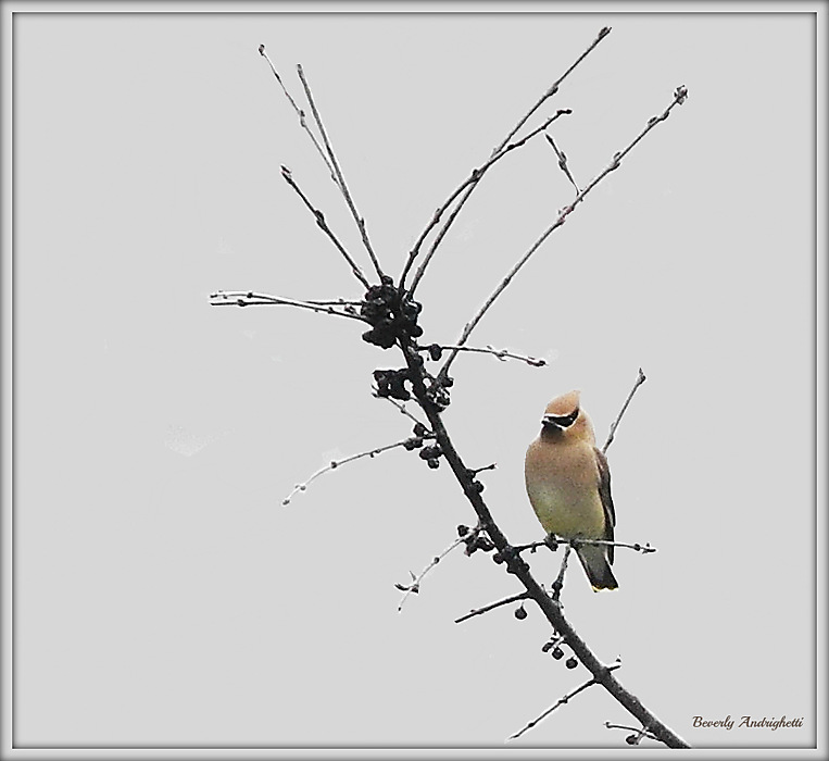 photoblog image The Waxwings have returned