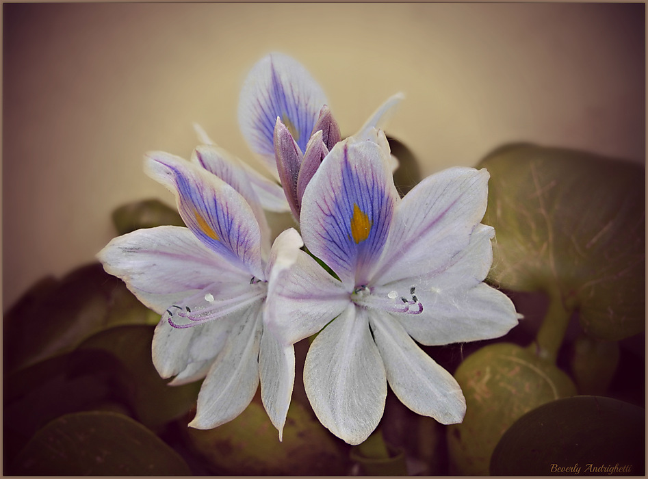 photoblog image Water Hyacinth