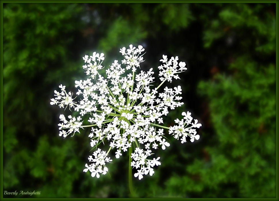 photoblog image Garden Weed - Queen Anne's Lace