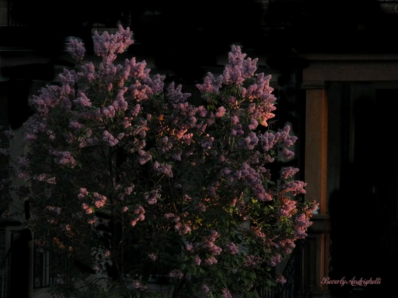 photoblog image Lilacs, catching last rays of the setting sun